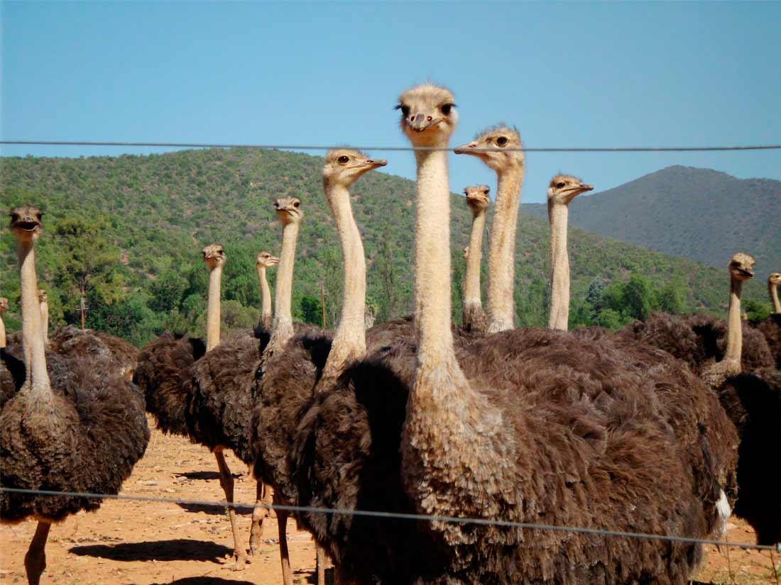 Avestruces en la Sierra del Tejo